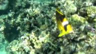 red sea bannerfish curios dahab video