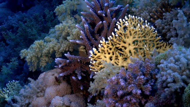 Red sea coral reef video