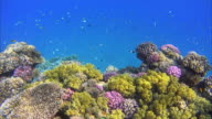 Red Sea Coral reef with lot of fisch video
