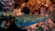 Red Sea Porcupine fish video