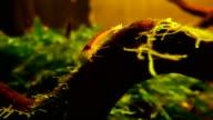 red shrimp in aquarium video