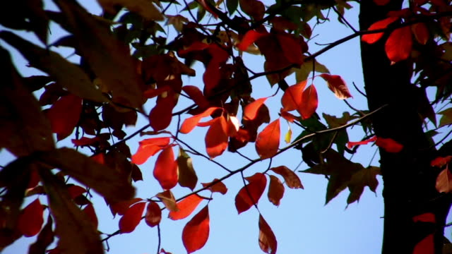 HD. Red & Silhouetted Leaves. Autumn Season. video