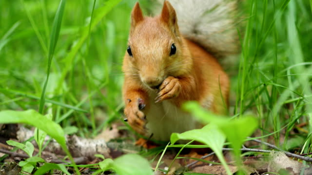 Red squirrel deftly gnaws nuts in the park video