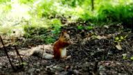 Red squirrel eating nuts in the woods video