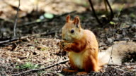 Red squirrel eating nuts video