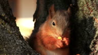 Red Squirrel eating video
