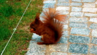 Red Squirrel Gnaws a Nut video