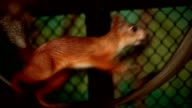 Red squirrel in a cage video