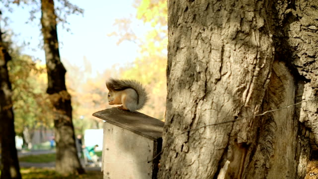Red squirrel on the tree eating nuts or seeds. One beatuful shiny day in autumn video