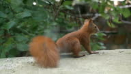 Red Squirrel video