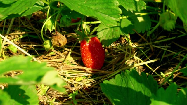 Red strawberry grows on strawberry bed video