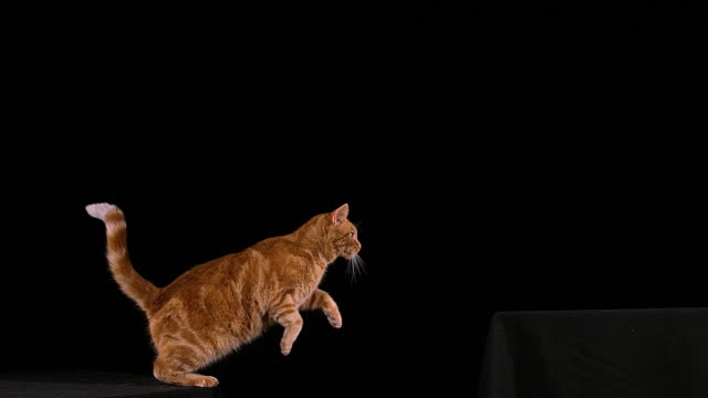 Red Tabby Domestic Cat, Adult Leaping against Black Background, Slow motion 4K video