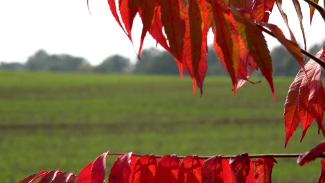 red tree leaf in wind to verdant winter crop field at day. FullHD video