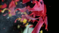 SLO MO LD Red tulip explodes into pieces video