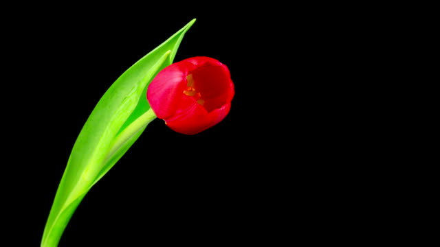 Red Tulip Time Lapse video