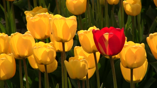 Red Tulip with Yellow Tulips video
