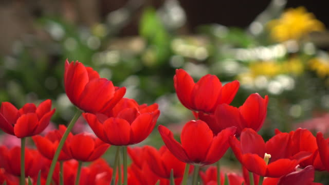Red Tulips Dolly video