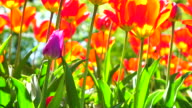 Red tulips in springtime video