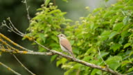 Red-backed shrike (Lanius collurio) video