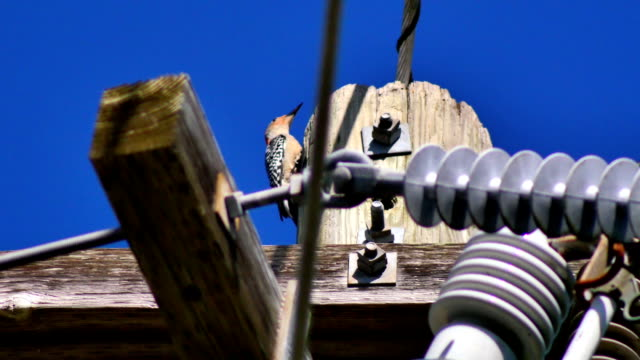 Red-Bellied woodpecker on top of telephone pole video