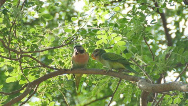 Red-breasted Parakeet (Psittacula alexandri) on tree. video