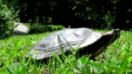 HD: Red-Eared Slider Turtle video