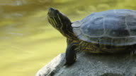 Red-Eared Slider Turtle video