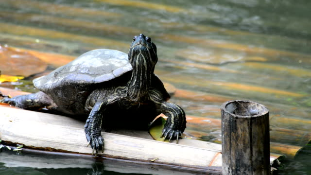Red-eared turtle video