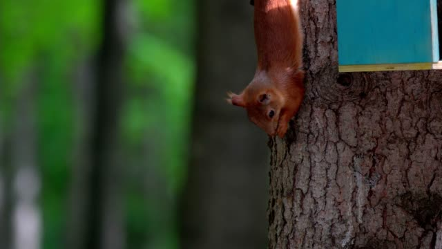 A red-haired squirrel with a gray tail sits upside down on a tree. Squirrel is trying to approach the boy's hand, which sprinkled pumpkin seeds. People passing by, frighten the squirrel. Summer day in the city park. video