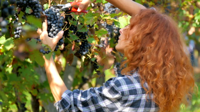 red-headed woman harvesting grapes video