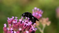 Red-tailed Bumblebee Queen (UHD/4K video source) video
