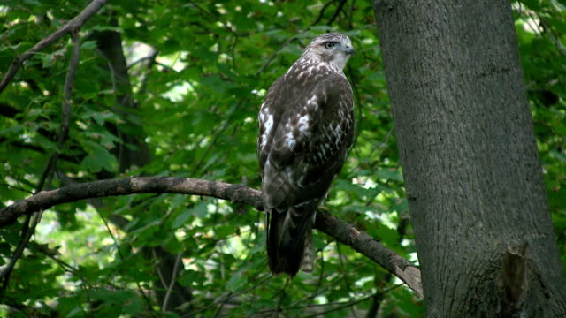 Red-tailed hawk looking for dinner. video
