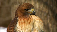 Red-tailed Hawk video