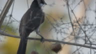 Red-whiskered bulbul action on the tree branch video