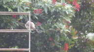 Red-whiskered bulbul clean itself after rain video