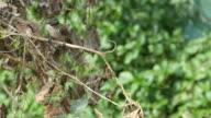 Red-whiskered bulbul eating wild fruit video