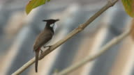 Red-whiskered bulbul hitting its beak on the tree branch video