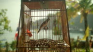 Red-Whiskered Bulbul in a Cage, Thailand video