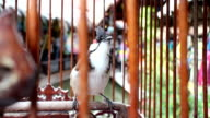 Red-whiskered Bulbul in bird cage video