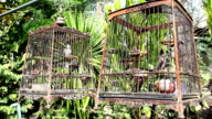 Red-whiskered Bulbul in birdcage video