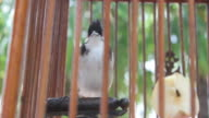 Red-whiskered Bulbul in the birdcage. video
