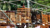 Red-whiskered Bulbul in the birdcage video