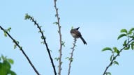 red-whiskered bulbul is eating video