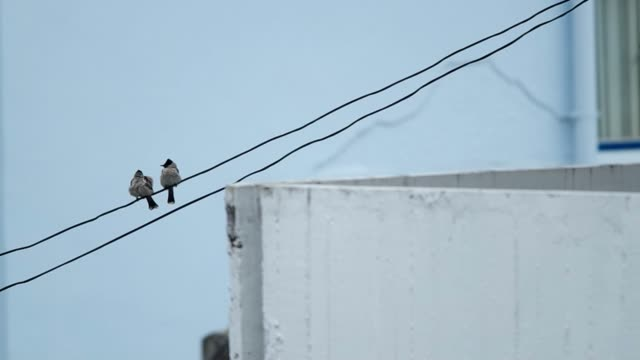 Red-whiskered bulbul is relaxing on the electric wire video