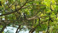 Red-whiskered bulbul is resting video
