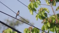 Red-whiskered bulbul on electric line video