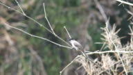 Red-whiskered bulbul relax on bamboo shoot video