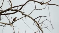 Red-whiskered bulbul relaxing video
