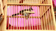 Red-whiskered Bulbul video
