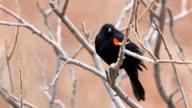 Red-winged Blackbird, Agelaius phoeniceus, singing in a cattail marsh video